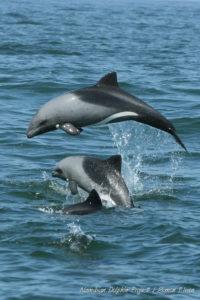 Socialising Heaviside's dolphins Cephalorhynchus heavisidii, photographed in Walvis Bay, Namibia